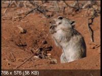 Медоеды. Змеиные убийцы / Honey Badgers of the Kalahari. Snake Killers (2001) DVDRip
