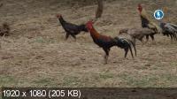 Куриная планета / Chicken Planet (2016) HDTV 1080i