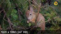Беличьи тайны / Secrets of Squirrels (2018) HDTV 1080i
