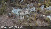Холодное королевство снежного барса / The Frozen Kingdom of The Snow Leopard (2020) HDTV 1080i