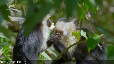 Дикая Коста-Рика / Wild Costa Rica (2015) HDTV 1080i
