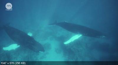 Убийцы холодных вод / Icy Killers: Secrets of Alaska's Salmon Shark (2008) DVB