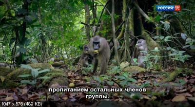 Приматы / Primates (2020) DVB