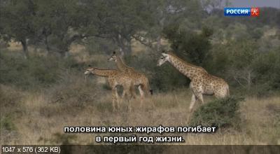Мама-жираф / Mamma Giraffe (2020) DVB
